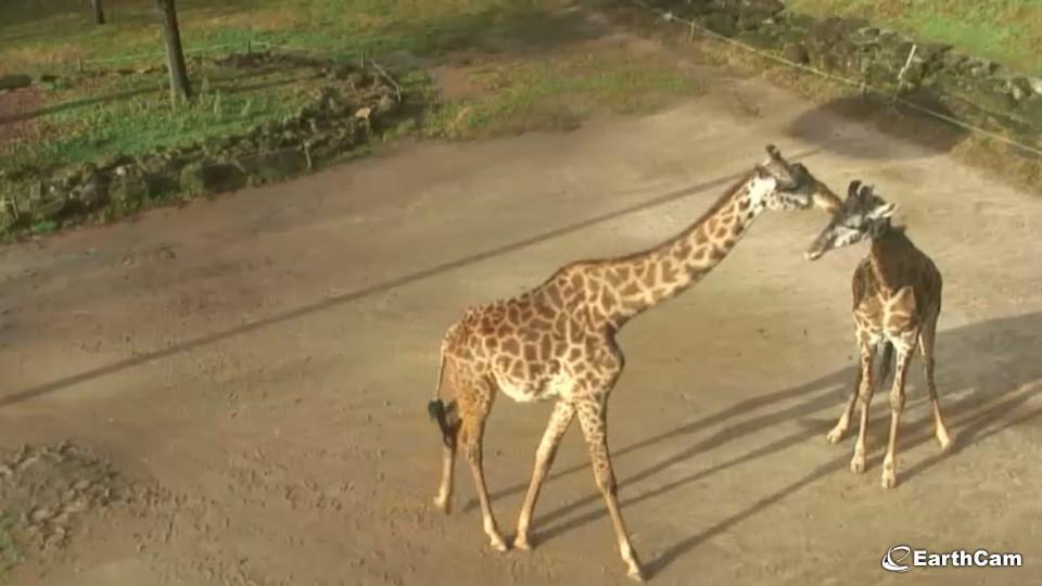 Giraffe34
